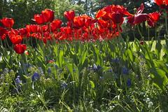 _DSC0711 (Riccardo Q.) Tags: parcosegurtàtulipani places parco altreparolechiave fiori tulipani segurtà