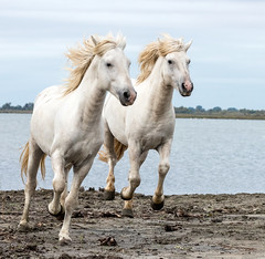 2016 Best Two Camargue Stallions (5) (maskirovka77) Tags: saintlaurentdaigouze languedocroussillonmidipyrén france languedocroussillonmidipyrénées fr stallion stallions createaway