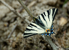 (zsolt75) Tags: canon100d 70300 sigma hungary butterfly spring nature april black white insect