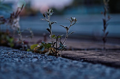 ([gegendasgrau]) Tags: atmo atmosphere ambiance plant pflanze detail bokeh railway eisenbahn platform bahnsteig bahnhof station blüten blossoms beton concrete urban mood spring frühling