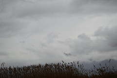 Reeds Abstract by ioanna papanikolaou  CSC_2644 (joanna papanikolaou) Tags: reeds sky clouds cloudy weather lakeshore prespes greece travel moody wind atmosphere scene outdoors nobody scape landscape nature natural