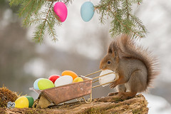 load of eggs (Geert Weggen) Tags: red nature animal squirrel rodent mammal cute look closeup stand funny bright sun backlight winter snow eyes hypnosis staring watching contact each up seat picnic food dinner breakfast meal easter holiday egg happy catch reach pick collect carry mouth wheelbarrow fill geert weggen hardeko bispgården ragunda jämtland sweden
