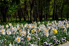 DSC_0023 (Me now0) Tags: spring park europe nikond5300 1855mmf3556 basiclens afternoon пролет никонд5300 китовобектив софиябългарияевропа юженпарк daffodils нарцис
