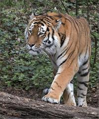 Amur Tiger Fedor (Fisherman01) Tags: zoozürich amurtiger fedor