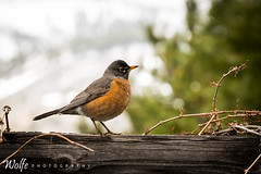 Robin (Aaron_Smith_Wolfe_Photography) Tags: orange robin fence tamron70200g2 carsoncity nevada sierra mountains spring