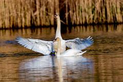Mute Swans (mayekarulhas) Tags: swan mute bird avian johnheinznaturereserve philadelphia wildlife wild water