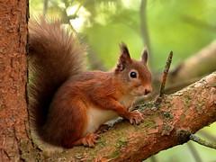 Red Squirrel (noelbarke) Tags: red squirrel forests scotland sciurus vulgaris fur highlands brownsea island eartufts noel barke