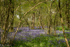 Bluebell carpet (ellie.taylor30) Tags: spring nikonnaturephotography nikon nature flickrnature bluebells hampshire