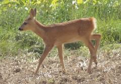 Sarna / roe-deer / Reh (Anna Ziętkiewicz) Tags: sarna roedeer reh kujawy poland 2016 sonyslta58