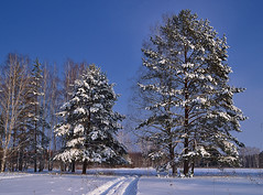 Gate of two pines (МирославСтаменов) Tags: russia moscowregion pushchino pine tree crown coniferous path snow winter sky meadow glade