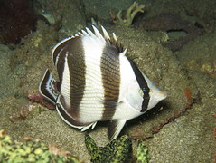 IMG_6964 (adrienweckel) Tags: adrienweckel chaetodonstriatus papillonàbandes poissons