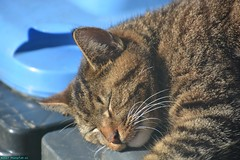 Neelix the Cat. (PhotoTJH) Tags: phototjh mackerel pattern makreel patroon tabby cat kat kater feline european shorthair europese korthaar cyperse cyper grijs grey neelix animal pet huisdier phototjhnl eye oog nose neus kliko container hvc