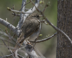 Thrush in the brush (ardeth.carlson) Tags: thrush hermitthrush bird nature wildlife environmentallearningcenter ftcollins colorado
