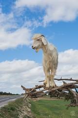 Goat in a Tree (jennifer.stahn) Tags: travel travelphotography animal goat ziege baum tree maroc marocco marokko marrakech marrakesch marrakesh essaouira nikon jennifer stahn