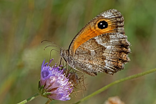 Pyronia cecilia - the Southern Gatekeeper (male)