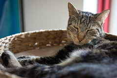 Sleepy Cat (Ghita Katz Olsen) Tags: cat pet animal tabby nap napping sleepy