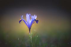 Miss Iris (--StadtKind-- off for a week) Tags: manuallens primelens stadtkind f2 alphaddicted sonyalpha teamsony sonyilce7m2 depthoffield dof bokehmasters bokehaddicts bokeh flores fleur flower iris