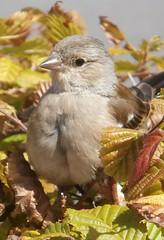 Finch (female), Ireland (hjreitsma) Tags: animal bird finch female ireland