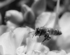 Bee_SAF4050-2 (sara97) Tags: bee copyright©2016saraannefinke flower flyinginsect insect missouri nature outdoors photobysaraannefinke pollinator saintlouis towergrovepark urbanpark bw blackandwhite blackwhite