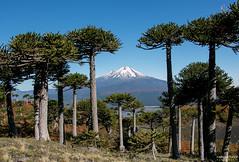 Araucarias (rockdrigomunoz) Tags: verde conguillio sur chile araucaria naturaleza arboles volcan