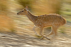 Spotted deer (dickysingh) Tags: ranthambore ranthambhorenationalpark spotteddeer wild