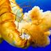 Pacific sea nettle 24 - National Aquarium
