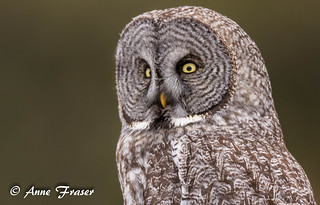 Close-up of a Great Gray Owl