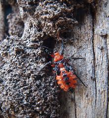 Bug (dicktay2000) Tags: ©richardtaylor australia g11 sydney 20110425img1705