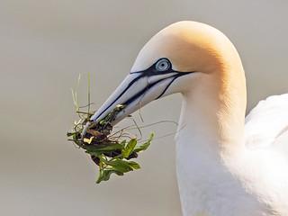 Northern Gannet nest building