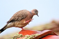 """Big steps take time"" - spotted turtle dove (natalia.bird_nerd) Tags: bird pigeon dove turtledove spottedturtledove stepping australia"