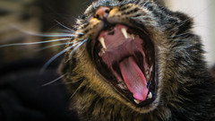 Feed Me (danielledufour430) Tags: mouth fangs teeth canines yawn tongue feline pet hungry whiskers cute meow jaws bite