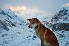 I belong (munjean) Tags: dog mountain mountains valley sunrise snow hiking trekking annapurna annapurnabasecamp