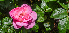 perfect happiness (pbo31) Tags: livermore pleasanton california eastbay alamedacounty garden flower flora earth nature april 2017 spring boury pbo31 nikon d810 bloom rose green pink perfect happiness