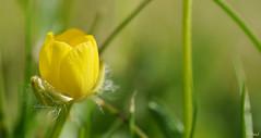 Macro-panorama !! (thierrymazel) Tags: macro bokeh profondeur champ pdc dof fleurs flowers blossoms nature jardin printemps spring bouton dor