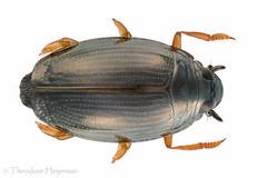 Gyrinus substriatus (TheodoorHeijerman) Tags: insectainsecteninsects uniramia adephaga animalia arthropodageleedpotigen gyrinidaewaterschrijvertjeswhirligigbeetles coleopterakeversbeetles hexapoda