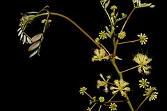 Albizia procera (andreas lambrianides) Tags: albiziaprocera mimosaceae mimosaprocera forestsiris australianflora australiannativeplants australianrainforests australianrainforestplants australianrainforestflowers arfp qrfp warfp cyrfp ntrfp monsoonarf marginalarf arfflowers creamarfflowers