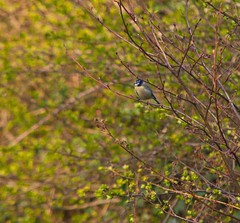 Wildlife on the Darent (Adam Swaine) Tags: tits bluetit shoreham riverbank naturelovers nature trees kent canon countryside birds gardenbirds englishbirds britishbirds england englishrivers
