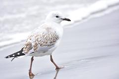 Silver Gull young (Luke6876) Tags: silvergull gull bird animal wildlife australianwildlife