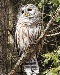 Barred Owl (Sara Turner Photography) Tags: barredowl owl nature birdofpray outdoor wildlife feathers perch warmblooded