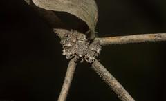 Stephanopis (dustaway) Tags: arthropoda arachnida araneae araneomorphae australianspiders scrubbycreek bentley backcreekvalley northernrivers nsw nature australia thomisidae stephanopinae stephanopis crabspider