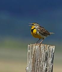 Western meadowlark (frank1556) Tags: western meadowlark
