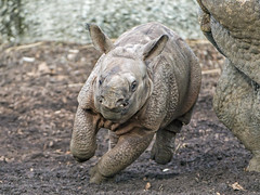 Rhino baby running again! (Tambako the Jaguar) Tags: running action fun speed fast portrait frontal rhinoceros indian rhino male calf cute baby young basel zoo zolli switzerland nikon d5