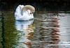 Shyness (Paco CT) Tags: agua animal ave bird cisne event evento kdd reflejo swan meetup reflection santjaumededomenys tarragona spain esp water nature pacoct 2017