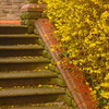 Forsythia Steps (Dave Roberts3) Tags: spring springtime yellow wales newport gwent park bellevue steps stair flowers wall citrit