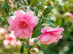 Camellia (niloc's pic's) Tags: camellia pink flower shrub sheffieldpark nationaltrust eastsussex panasonic lumix dmcgh4r samyang50mmf12asumccs