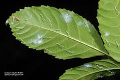 Mantis nymphs (Mantodea) - DSC_3765 (nickybay) Tags: singapore macro chestnutavenue mantodea mantis nymph babies