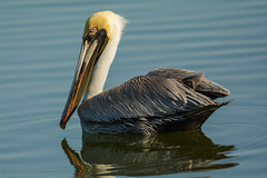 The look back (ChicagoBob46) Tags: brownpelican pelican bird florida sanibel sanibelisland naure wildlife ngc npc