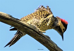 Green-barred Woodpecker (Colaptes melanochloros) (Canuck 07) Tags: bird colaptesmelanochloros nature