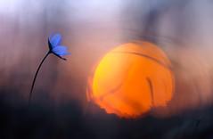 Leberblümchen (MichaSauer) Tags: hepaticanobilis hépatique anémone anemone liverwort leverbloempje leberblümchen spring wood sunset sonnenuntergang gegenlicht bokeh