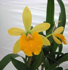 小黃鶯 Epicattleya Rene Marques x Rhyncattleanthe Free Spirit  [香港花展 Hong Kong Flower Show] (阿橋花譜 KHQ Flower Guide) Tags: epicattleya rhyncattleanthe 蘭科 orchidaceae
